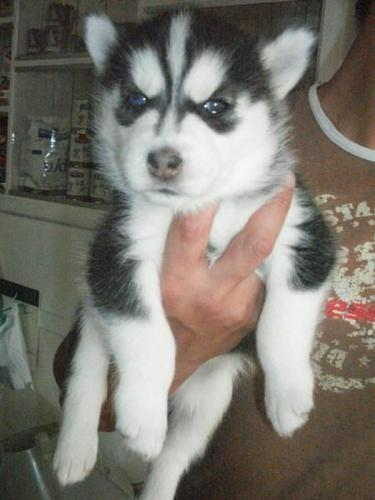 omg puppies beautiful puppies available