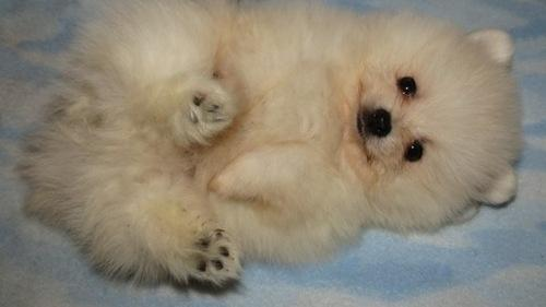*Top Quality Pomeranianss...* puppies*