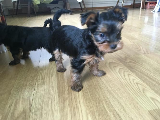 ?Y.o.R.k.i.e P.upp.i.e.s For F.r.e.e, Ready Now 12 Weeks Old # (770) 232-6588