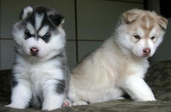 %$% Free Fantastic Female and Male H.u.s.ky Pu.pp.ies for new home %$%(972) 913-6847