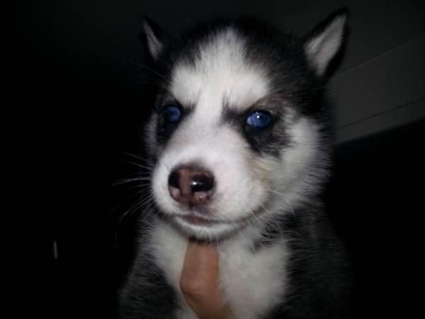 Blue Eyes male and female Siberi.a.n hus.k.y Pu.ppies ) Need Home 720 295-4112