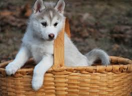 Blue Eyes male and female Siberi.a.n hus.k.y Pu.ppies ) Need Hom (443)-491-8940