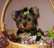 FERR FREEEE Gorgeous Tea-cup Yorkies Pu.ppies Not For Sell Free) Need Home