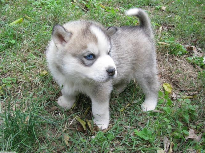 Blue Eyes male and female Siberi.a.n hus.k.y Pu.ppies ) Need Hom (443)-491-8940