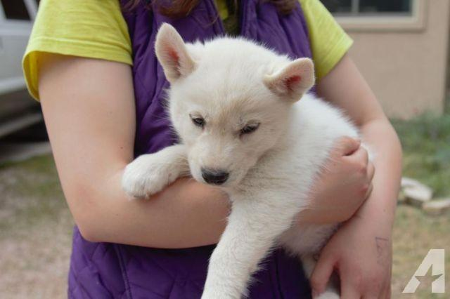 FREE Quality siberians huskys Puppies:contact us at(719) 215-8468