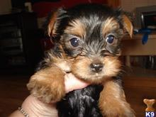 Gorgeous Y.O.R.K.I.E Puppies Need A New Home (202) 852-0827)