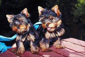 Cut Y.O.R.K.I.E puppies,for Good Home
