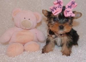# # ???Excelent Teacup Yorkies Puppies:....