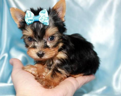 # # ???Excelent Teacup Yorkies Puppies:....