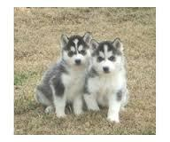 Quality male and female sib.erians hus.kys Puppies:SMS(707) 840-8141