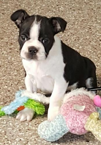 male and female  Boston terrier