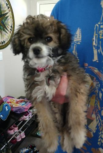 2 female Poodle Yorkie mixed puppies in need of rehoming.