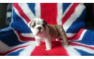 ??Amazing English B.u.l.ld.o.g P.u.ppy For Free,(240) 307-2109/Ready Now 12 Weeks Old??