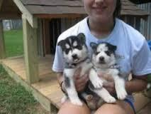 %$% Free Fantastic Female and Male H.u.s.ky Pu.pp.ies for new home %$% (757) 932-9625