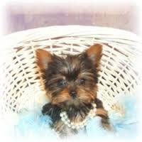 Tiny female Y.o.r.k.i.e Puppy ... (651) 347-6712