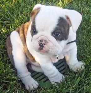 Re-Homing English Bulldog male and female
