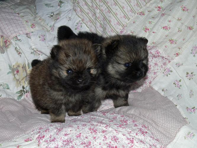 !!Male and Female Pomeranianss Puppies Available (956) 307-4436