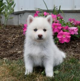 Pretty male and female Pomsky Puppies (302)583-3421