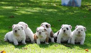 FREE*FREE Affectionate M/F English B.u.l.l.d.o.g Puppies!!!(301) 463-7620 for details