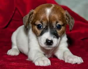 Jack  Russell : contact us at.@4699060671