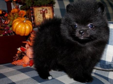JUGHCHJGFHG Pomeranian Pups M/F Available