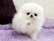 Pomeranians Puppies Available (770) 666-0417