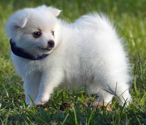 TFUYFUUN  Pomeranian Pups M/F Available