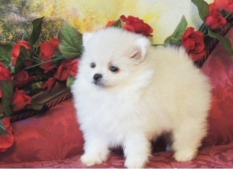 HGFCHGHG Pomeranian Pups M/F Available