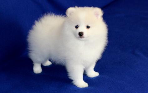 THGJHGJG Pomeranian Pups M/F Available