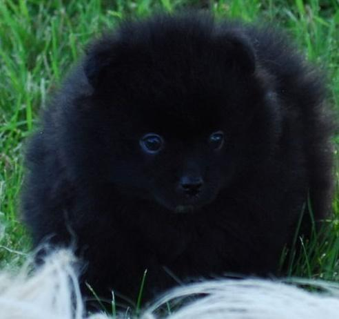 UHIUH Pomeranian Pups M/F Available