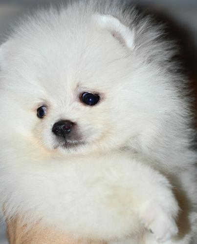 NJUYTUTTY Pomeranian Pups M/F Available