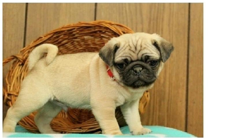 Two Gorgeous P.u.g.  Puppies Available-----=
