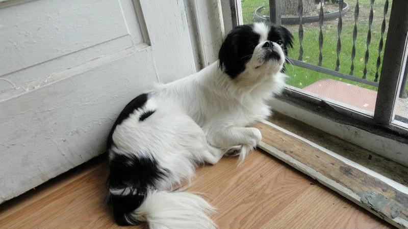 11 WEEKS OLD CUTE JAPANESE CHIN DOG FOR SALE