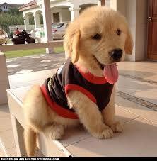 Quality Golde.n Retrieve.r Pups . (470) 315-0784