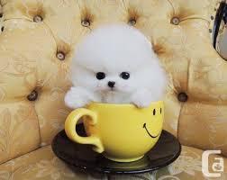 Pomeranian puppies ready to go
