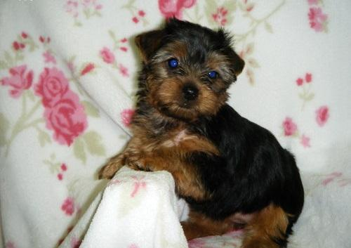 ?Y.o.R.k.i.e P.upp.i.e.s For F.r.e.e, Ready Now 12 Weeks Old # (678)586 4645