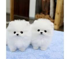 Pomeranian puppies ready to go