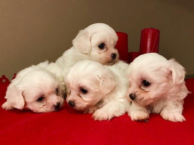 we have 2 CUTE M.A.L.T.E.S.E Puppies (740) 325-8610