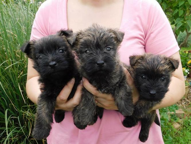 Cairn Puppies Ready To View Now