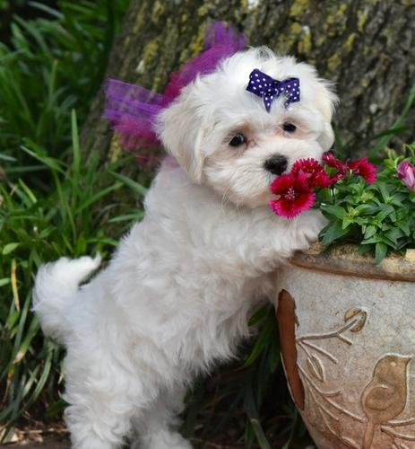 for more information about my Maltese