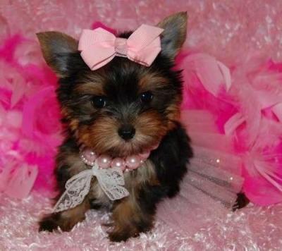 Cute Y.O.R.K.I.E Puppie.s(360) 646-8485