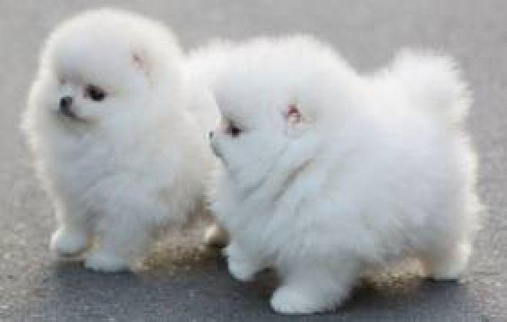 //Quality Female and Male P.o.m.e.r.a.n.i.a.n  Puppies//