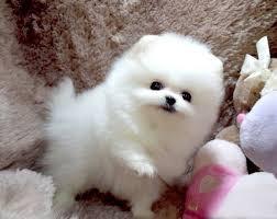 //Pretty Awesome Female and Male P.o.m.e.r.a.n.i.a.n puppies//