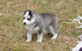 FREE Quality siberians huskys Puppies:contact us at(508) 622-5152
