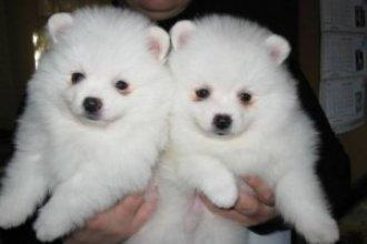 Fantastic Cute Female and Male P.o.m.e.r.a.n.i.a.n available