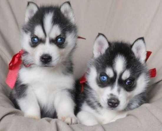 CUTIE S.I.B.E.R.I.A.N H.U.S.K.Y Puppies: contact us at (980) 404-9844