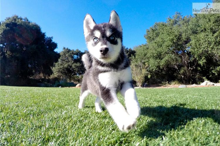 Ckc Pomsky Puppies For A Loving Family.contact us at (215) 664-7045