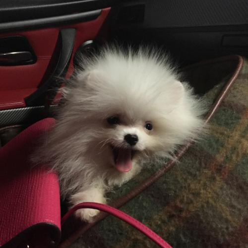 Sweet .Mini P.o.m.e.r.a.n.i.a.n puppies!!!sms (501) 404-5954