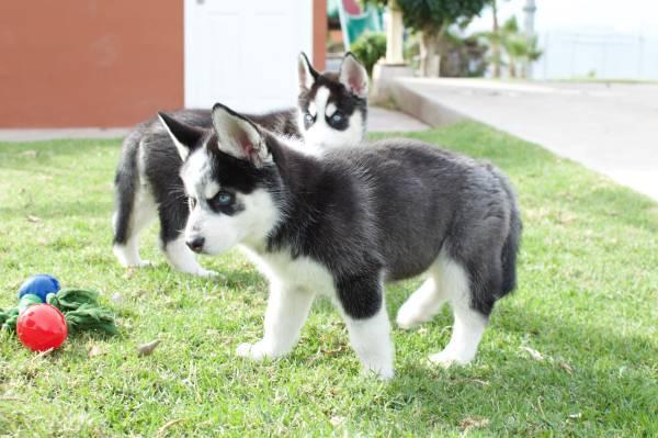 CUTE S.i.b.e.r.i.a.n H.u.s.k.y Puppies: contact us at.(401)-213-9218