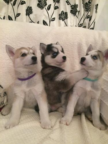 Gorgeous Pedigree Huskies for sale